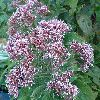 View full size photo of Joe-Pye-Weed in Wheatley, Ontario, Canada
