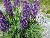 View full size photo of Lupine in Windsor Junction, Nova Scotia, Canada