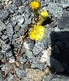 View full size photo of Coltsfoot in Sackville, Nova Scotia, Canada
