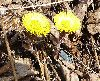 View full size photo of Coltsfoot in Windsor Junction, Nova Scotia , Canada