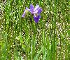 View full size photo of Blue Flag Iris in Eastern Passage, Nova Scotia , Canada